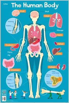 Picture of Human Body (Collins Children's Poster)